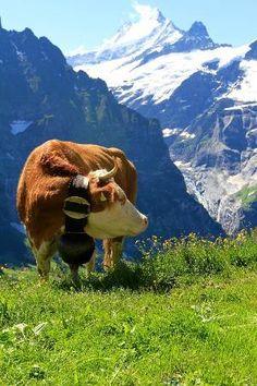 Zermatt, Grindelwald Switzerland, Winterthur, Beautiful World, Beautiful Places, Alpine Village, Gado, Cow Painting, Ski Chalet
