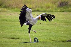 Secretary Bird - kicking a snake