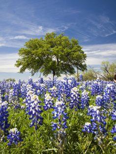 Texas Bluebonnets and Oak Tree, Texas, USA