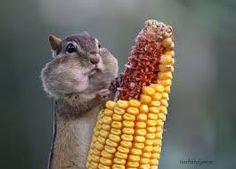 Image result for chipmunk eating corn
