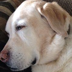 Looks like sleeping Brooke :) Doggies, Pet Dogs, Dog Cat, Lab Puppies, Cute Puppies, I Love Dogs, Puppy Love, Chocolate Labs, Labrador Retrievers