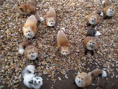 Zao Fox Village, located in Japan's Miyagi prefecture. For 100 yen (or about 85 US cents), visitors are provided with food, but because the foxes are not domesticated, they are cautioned against hand-feeding them or bringing small children.