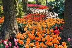 lawn full of tulips