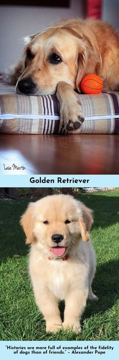 Learn more about Golden Retrievers Just click on the link for more info.