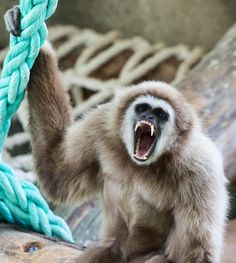 Gibón en Río Safari Elche Gibbon at Rio Safari Elche (Alicante, #Spain) Ferret, Safari, Parks, Animales, Ferrets, Ferret Toys