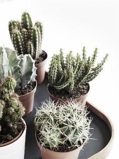 Add attitude. Verschillende kleine cactussen en succulenten bij elkaar gegroepeerd op een dienblad of boomstam schijf.
