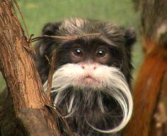 emperor tamarin   Emperor Tamarin Monkey