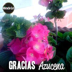 ¡Muchas gracias, Azucena González! Por compartirnos las #hortensias que cultivaste con Miracle Gro!