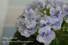 African Violet miniature - Jolly Orchid  #Africanviolet #Jolly_Orchid