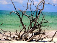 Captiva Island Manatees   drift wood on upper captiva