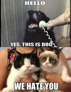 grumpy cat hates dog