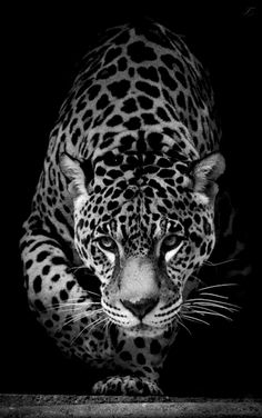 Jaguar © Villy Edit: Tales of the Night Whisperer