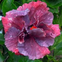 Taiwan Hibiscus - Linda Lee Blue Hibiscus, Hibiscus Flowers, Tropical Flowers, Amazing Flowers, Pretty Flowers, Mother Earth, Gardening Tips, Natural, Planting Flowers