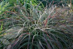 Buy snowy woodrush Luzula nivea - Small evergreen grass with sprays of pretty white flowers: Delivery by Waitrose Garden in association with Crocus Dutch Gardens, Back Gardens, Shade Garden, Garden Plants, Balcony Gardening, Ornamental Grasses, Shade Plants, Garden Spaces