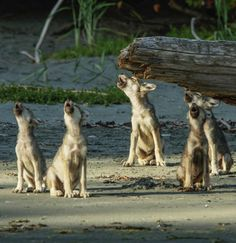 Wolf pups singing their hearts out http://ift.tt/2dGy3Lm