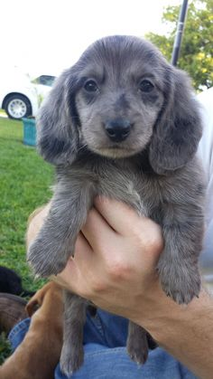 Cute Silvia Gallery - Silver Dapple Dachshund - Cute puppy Silvia before we took her home Dachshund Facts, Dachshund Breed, Dachshund Funny, Dachshund Love, Dapple Dachshund Puppy, Black Dachshund, Silver Dapple Dachshund, Dapple Dachshund Miniature, Cute Puppies