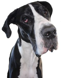 Great Dane 4 years old