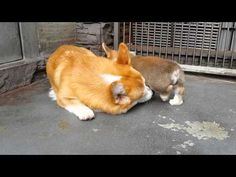 Hilarious How Mother Corgi Teaches Puppy To Sit - http://www.dogisto.com/mother-corgi-teaches-puppy-to-sit-did-he-make-it/