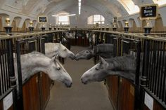 Lipizzaners in their stables