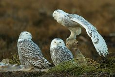 3 young Snowy Owls -Trio Photo by Henrik Nilsson -- National Geographic Your Shot