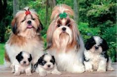 One of the best things of being a pet owner is having to bring along little creatures wherever they go. The company and fun brought by these four legged angels will not amount to any money-paid accommodation. Perro Shih Tzu, Shih Tzu Hund, Shih Tzu Puppy, Yorkie, Lhasa Apso, Shih Tzus, Puppies For Sale, Cute Puppies, Cute Dogs