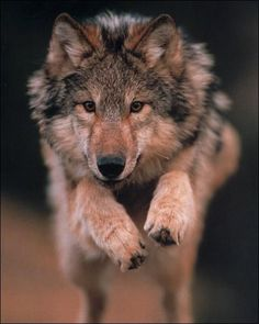 Wolves are not particularly fast, with a top speed of about 45km/h.  They instead rely on its hearing and sense of smell to detect prey.  They have remarkable powers of endurance and are known to follow their target all day and night if necessary.