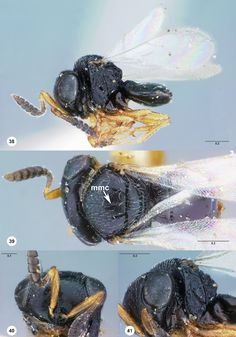 Trissolcus brochymenae, female