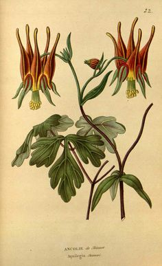 Aquilegia skinneri illustration - circa 1817