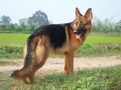 Cách huấn luyện chó becgie từ trung tâm bác sĩ thú y