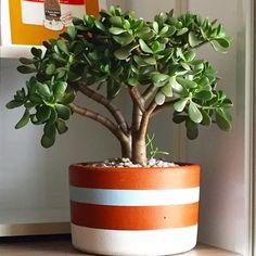 Arvorezinha dentro de casa: pode sim! Fale com a gente e peça a sua  #oitominhocas #miniarvore #suculentas #decoração #maisverde #plantinhasemcasa