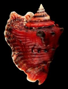 ! Iain Rasmussen This is strombus raninus. color is amazing would love to find this on a beach or in the ocean...el