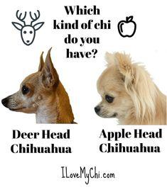 One of each!   Deer head chi vs Apple head chi