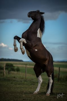 Pinto or Paint Horse - Awesome Photography