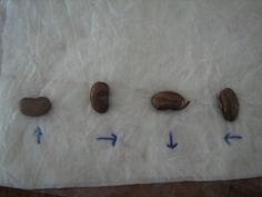 Take the basic procedure used for observing seed germination  one step further.   Prepare two bags. This time, across thebottom ofeach ba...