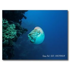Nautilus Great Barrier Reef Coral Sea