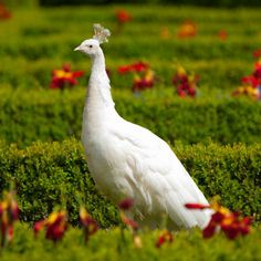 Looking to expand your flock to include some new fowl? Purely Poultry offers a large variety of game birds, peafowl and exotics for your choosing.