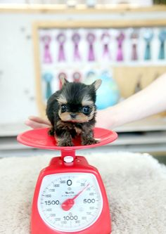 Adorable Amazing Sasha ~ Precious Micro Teacup Yorkie SOLD to Ruth in TX! Congrats!