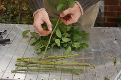 Select some healthy rose stems which you want to multiply. They cannot be too thin, it is best if they're the thickness of a pencil. They have to come from this year's bloom and should have a length of 8-10 in (20-25 cm).