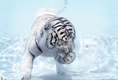 White tiger underwater. Beautiful photo