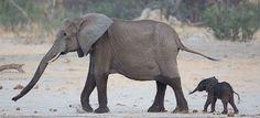 African elephant mom baby