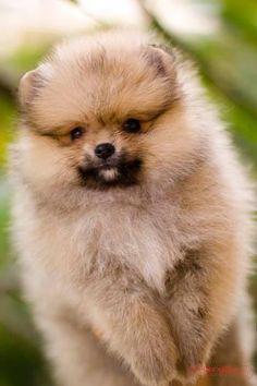 animal , dog , puppy , pom , pomeranian