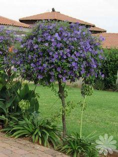 Solanum rantonnettii - Potato bush blue, Blue lycianthes, Paraguay nightshade.