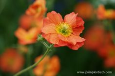 Geum 'Scarlet Tempest was bred by Elizabeth MacGregor in Galloway, south-west Scotland. This new Geum has a long flowering season, it starts flowering while the frosty weather is still around in April, and continues flowering until about September time.