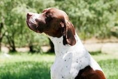 The Pointer dog is also called the English Pointer and this name is more common than just the Pointer dog. The pointer dog or English Pointer appeared for Gsp Puppies, Pointer Puppies, Pointer Anglais, Dressage, I Love Dogs, Cute Dogs, German Shorthaired Pointer Black, English Pointer Dog, French Dogs