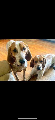 English Coonhound, Dogs, Animals, Diy Dog, Animales, Animaux, Pet Dogs, Doggies, Animal