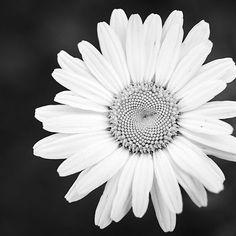 Prästkrage Sommar i svart/vitt #högupplöstkärlek #trädgård