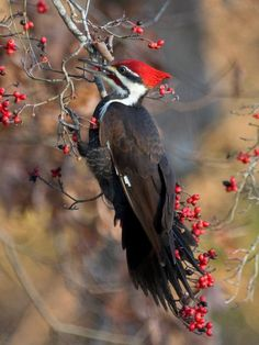 Helmspecht Male Pileated Woodpecker (Dryocopus pileatus) at his nest , NA Pretty Birds, Beautiful Birds, Animals Beautiful, Common Birds, Kinds Of Birds, Backyard Birds, Nature Animals, Wild Birds, Bird Watching