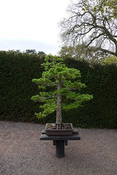 Bonsai at RHS Wisley | Flickr: Intercambio de fotos