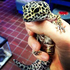 Cute leopard gecko
