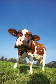 Koeien in weiland 2